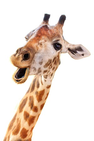 giraffe funny face